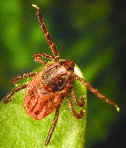 Photo tique sanguine Rhipicephalus sanguineus